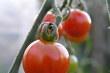 rajče se šťopkou