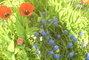 modrý kytky a tulipány
