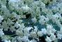 květy Černého bezu