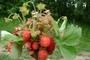 Lesni jahody