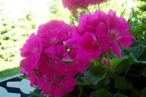 FOTKA - muškát růžový
