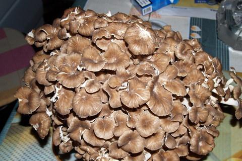 FOTKA - Beraní hlava nejlepsi houba