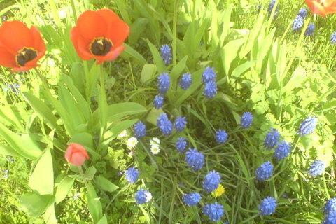 FOTKA - modrý kytky a tulipány
