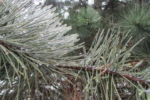 FOTKA - Dnes v parku:  třpytivé jehličí