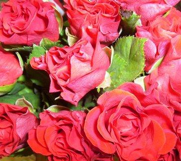 FOTKA - rudé růže
