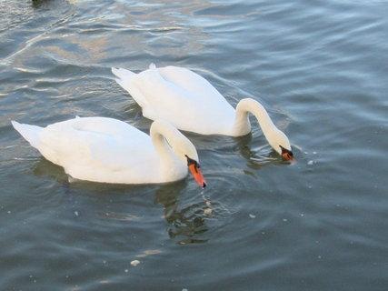 FOTKA - krmení labutí
