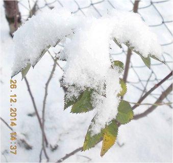 FOTKA - sníh na listech růže