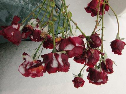 FOTKA - růžičky prosinec