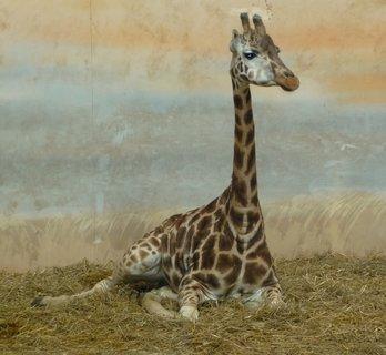 FOTKA - Žirafí pozdrav