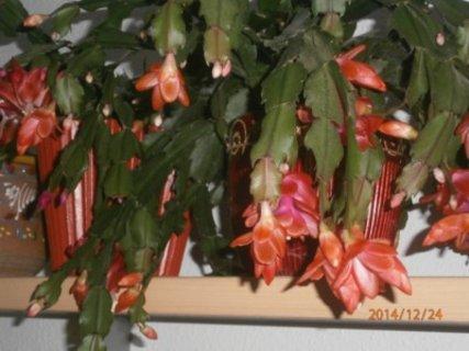 FOTKA - vánoční kaktusy to stihly akorát