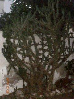 FOTKA - vysoký kaktus u zdi