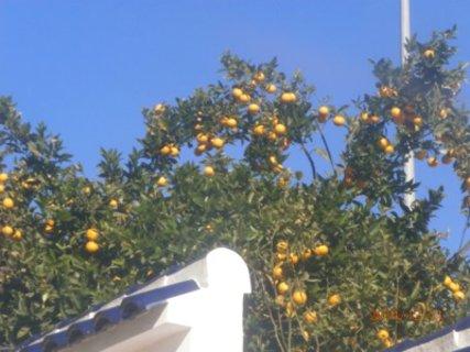 FOTKA - mandarinky u sousedů
