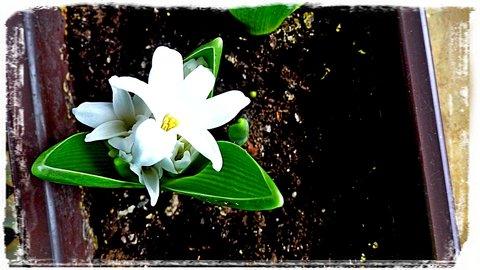 FOTKA - Hyacint - za oknem bílo, před oknem bílo