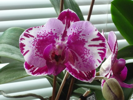 FOTKA - Vykvetla i kropenatá orchidejka