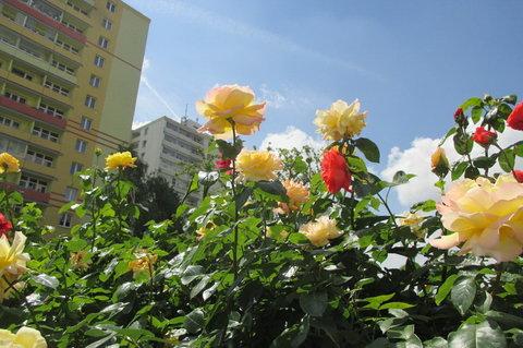 FOTKA - Růže mezi paneláky