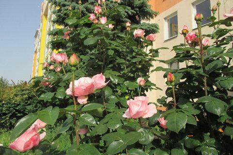 FOTKA - Záhon růží