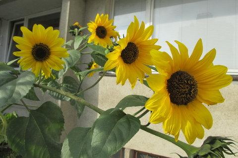 FOTKA - Slunečnice mezi paneláky