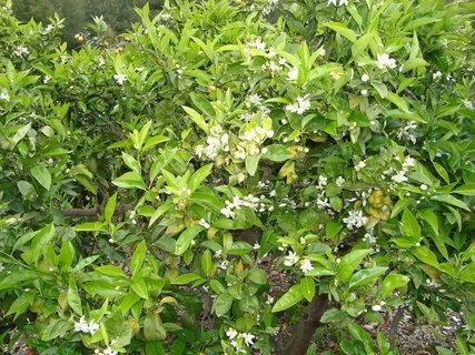 FOTKA - pomerančovníky v květu