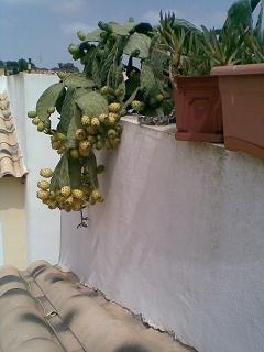 FOTKA - plody kaktusu - jedlé