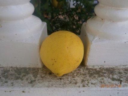 FOTKA - většinou jsou citróny mírně obézní