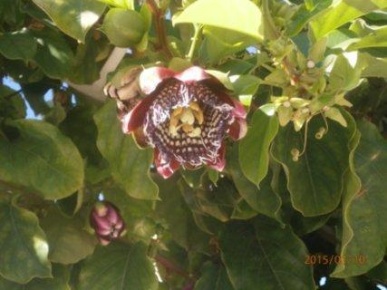 FOTKA - passiflora kvete taky v zimě