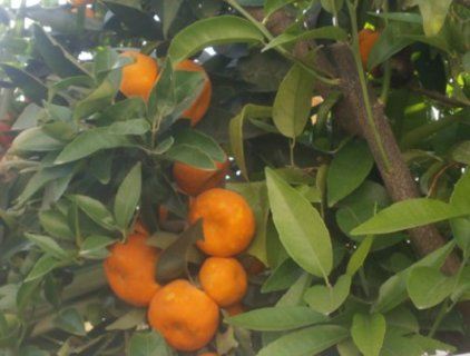 FOTKA - mandarinky už skočí do ruky samy