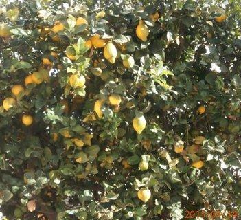 FOTKA -  citrony u sousedky