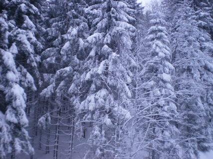 FOTKA - Zasněžené stromy na Rýžovišti