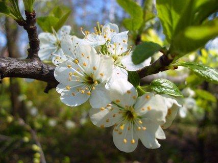 FOTKA - kvetoucí švestka  -  větvička