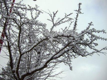 FOTKA - zasněžená větev  jabloně