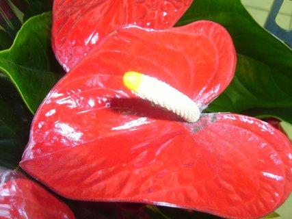 FOTKA - květ anthuria