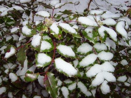 FOTKA - zasněžený mahon