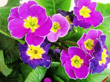 FOTKA - fialková prvosenka