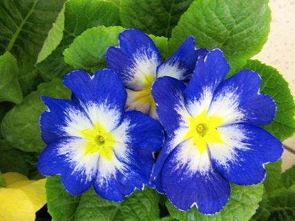 FOTKA - modré se světlým středem