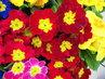 prvosenky z květníku