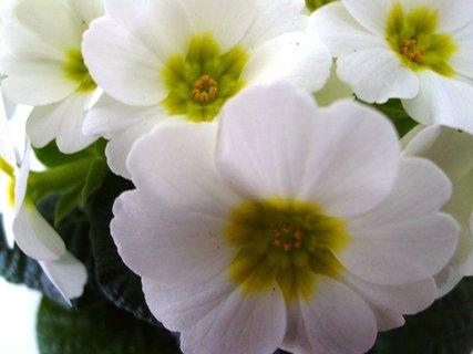 FOTKA - detail květů primulky