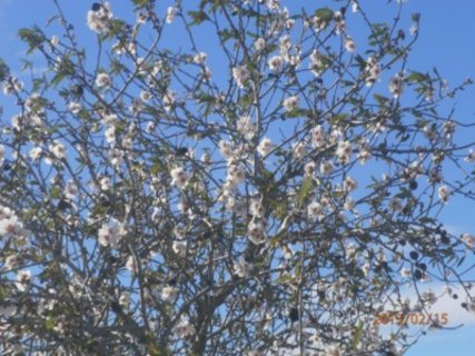 FOTKA - mandloně právě kvetou