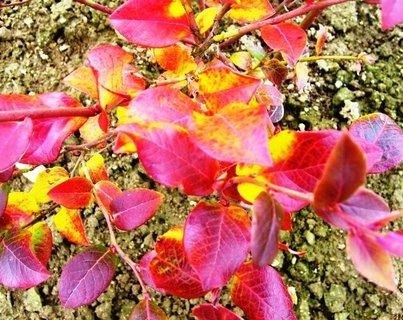 FOTKA - ohnivé barvy podzimu  -  kanadská borůvka