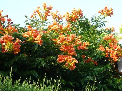 FOTKA - Oranžový trubač obsypaný květy