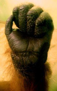 FOTKA - Ruka orangutana - studie