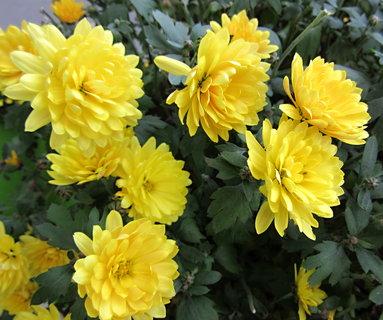 FOTKA - žluté podzimní květy
