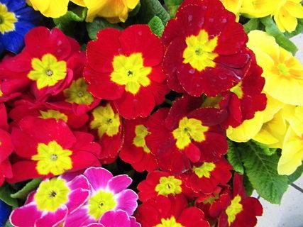 FOTKA - prvosenky z květníku