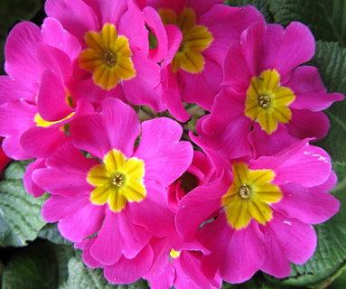 FOTKA - růžové primulky se žlutým středem