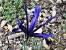 nízký iris