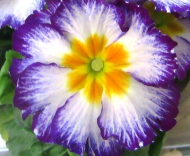 FOTKA - fialová primule