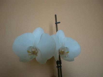 FOTKA - Květy orchideje