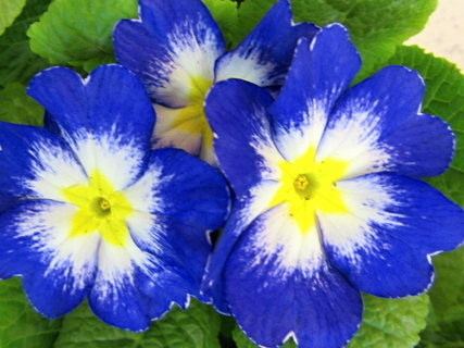 FOTKA - modré mají světlý střed