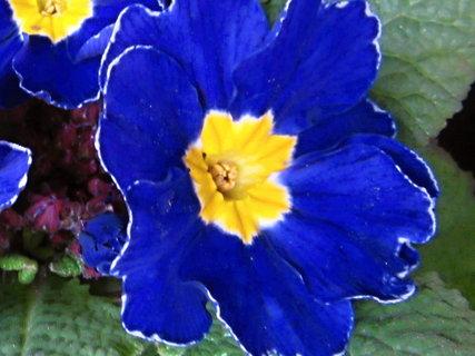 FOTKA - modrá prvosenka