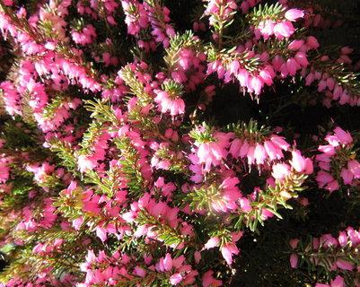 FOTKA - vřesy kvetou