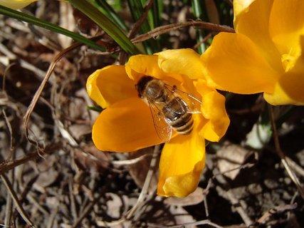FOTKA - včielka v krokuse